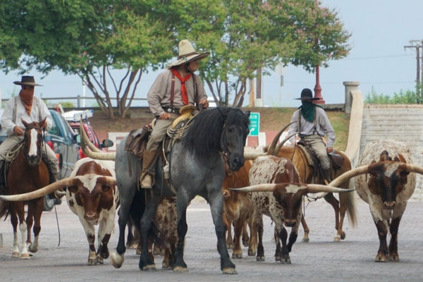 The world famous cattle drive at the Fort Worth Stockyards